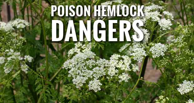 poison-hemlock-identification.jpg